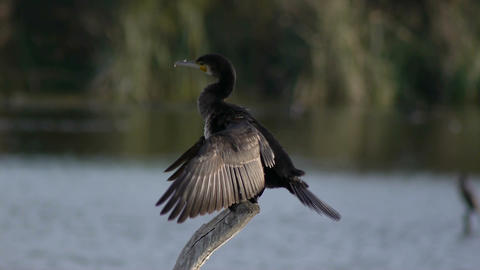 common cormorant Footage