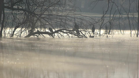 cormorants in the cold morning Footage