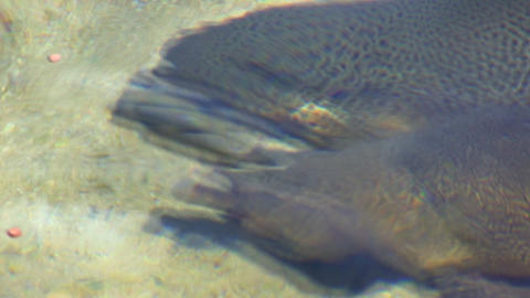 Hungry tiger trout Footage