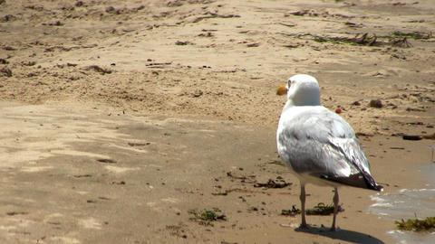 Seagull keeps feet cool on Cape Cod; 2 Footage