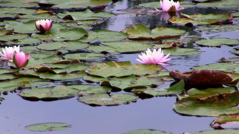 Pink water lilies Footage