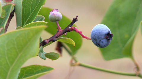 Blueberries on bush; 3 Footage