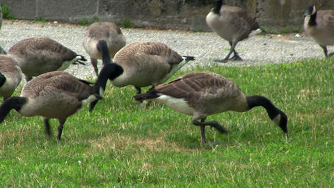 Geese grazing Footage