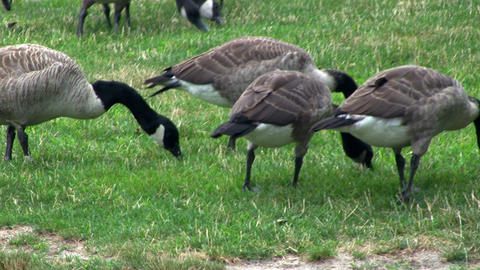 Geese grazing; 2 Footage