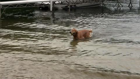 Golden retriever returns tennis ball from water; 3 Footage