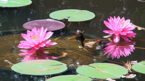 Brilliant pink lily lotus flowers at Heritage Plantation Cape Cod Footage