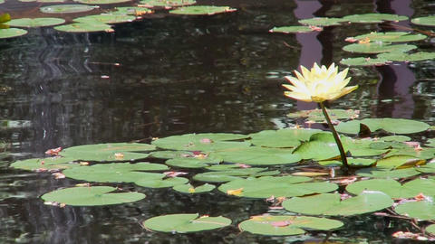 Brilliant yellow lily lotus flowers with waterfall reflection at Heritage Planta Footage
