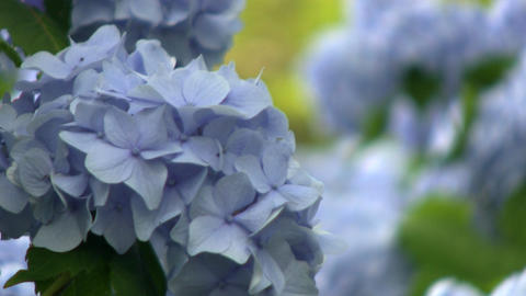Close-up Of Blue Hydrangeas Gently Swaying In The Breeze At Heritage Plantation  stock footage