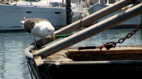 Seagull stands on back of fishing boat eating raw fish in Menemsha fishing villa Live Action