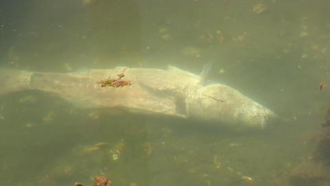Dead gutted fish on ocean floor Live Action