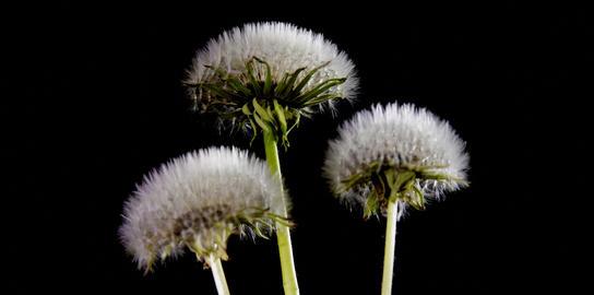 dandelion flower Footage