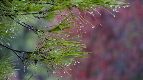 Rain In The Pine stock footage