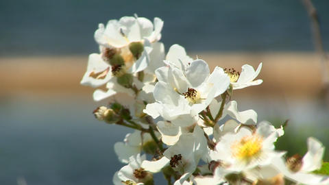 White flowers & lagoon Cape Cod Footage