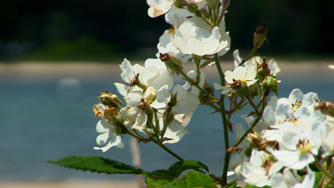 White flowers near beach Cape Cod Footage