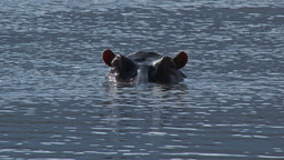 Hippopotamus (Hippopotamus amphibius) in water Footage