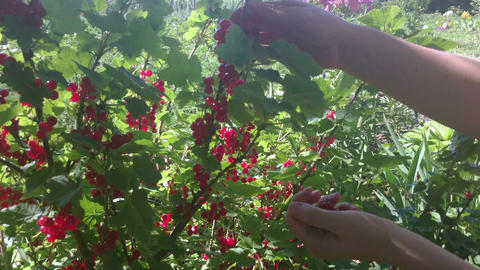 Girl gathering red currant berries in the garden, closeup view Footage