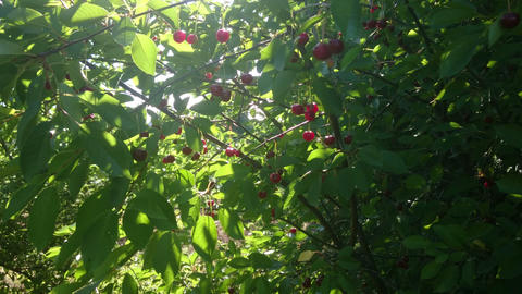 Cherry trees with berries and sun rays Footage