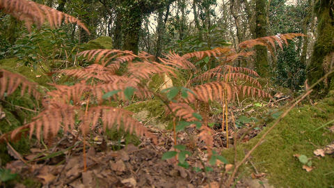 camera movement with dried ferns in the foreground Footage