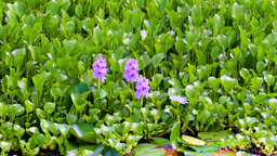 Close up of lilly pond flowers Footage