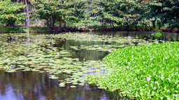 Lilly pond in Hawaii Footage
