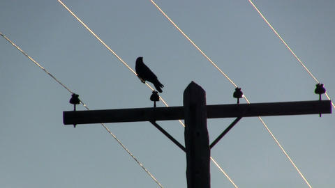 Crow on wire silhouette Footage