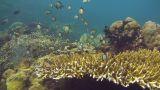Reticulated damselfish Footage