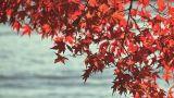 Autumn Leaves In Kawaguchi Lake,Yamanashi,Japan stock footage