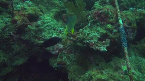 Golden damsel Stock Video Footage