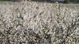 Orchard of blooming sour cherry trees Stock Video Footage