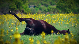 Dead cattle in meadow Stock Video Footage