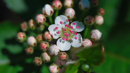 Bloom of aronia Stock Video Footage