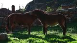 Horse and mule scratching each other Footage