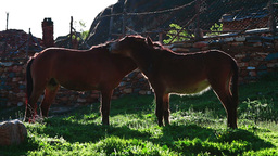 Horse and mule scratching each other Stock Video Footage