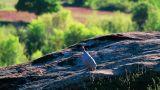 Pheasant Footage