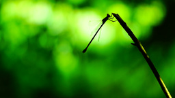 Silhouette of dragonfly resting on a branch flying and sitting down again Footage