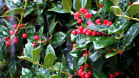 Holly berries and snow drops Footage