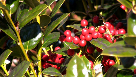 Holly berries in the sunshine; 2 Footage