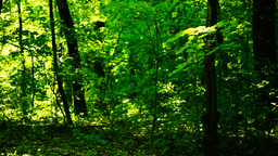 Trees in forest with bright afternoon sun Footage