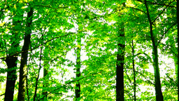 Trees in forest with bright afternoon sun and rays and sound, tilt Footage