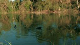 Ducks on Peaceful River