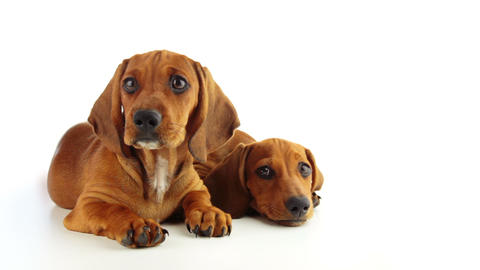Two Dachshund Puppy on a White Background Footage
