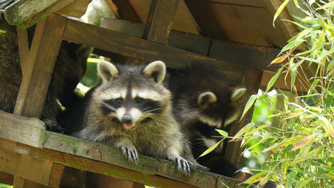 Three North American Raccoon (procyon Lotor)playing In Treehouse stock footage