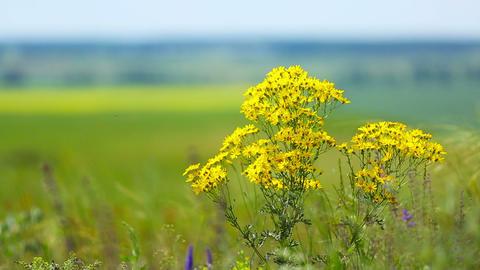 Yellow chamomile (Anthemis tinctoria) Footage