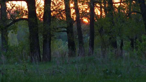 summer forest landscape at sunset - timelapse Footage