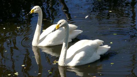 pair of whooper swan on lake Footage
