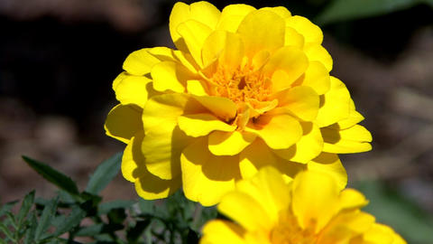 Yellow marigold in garden Footage
