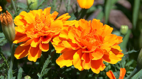 Orange marigold in garden Footage