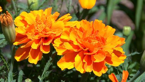 Orange marigold in garden Footage