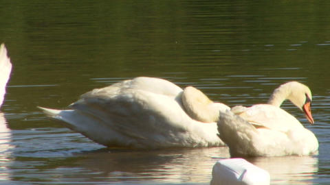 Swan cleaning; 2 Footage