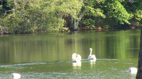 Swan couple Footage